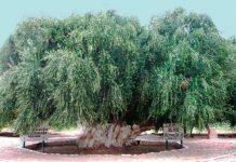 Olivo de 400 años en Aimogasta